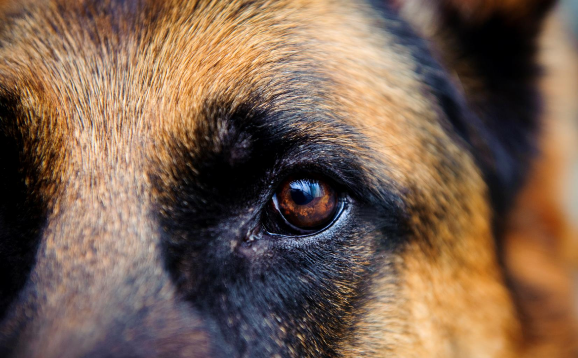 close-up-of-alsatian-dog